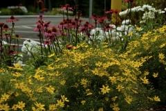 Coreopsis & Echinacea